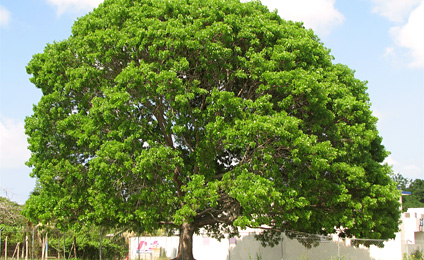 Noticias y eventos for Caracteristicas de arboles frondosos