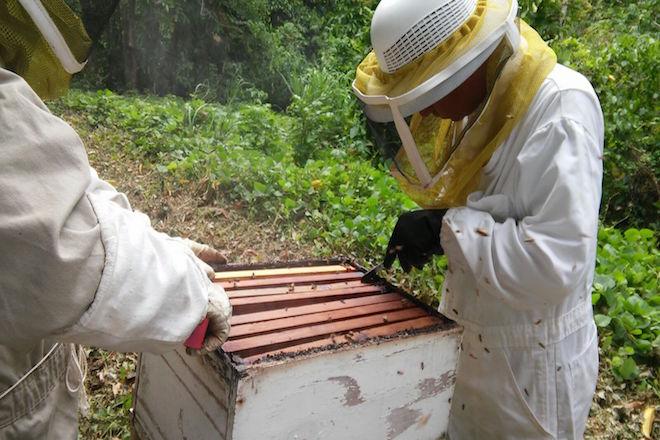 A ayudar a las abejas tras María